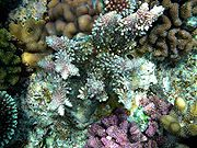 Live corals in Papua New Guinea.