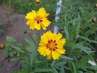 Coreopsis grandiflora - Image: Coreopsis Grandiflora 001