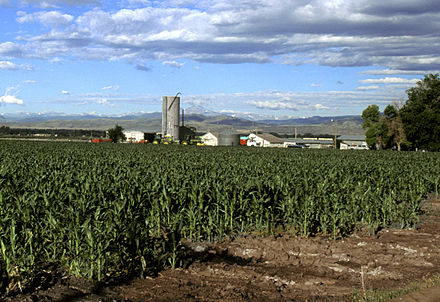 Corn growing in Larimer County Corn production in Colorado.jpg