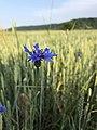 Cornflower , Western Ukraine.jpg
