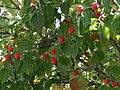 Cornus kousa 14zz-fruit.jpg