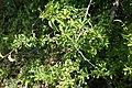 Cornus mas, familija Cornaceae 07.jpg
