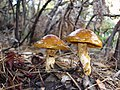 Cortinarius mucosus, Anchor Bay.jpg