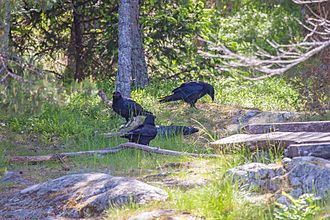 Common raven - Group of ravens gathered around dead member
