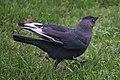 Corvus monedula 108308321.jpg