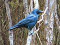Corvus tasmanicus-03.JPG