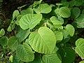 Corylopsis spicata 2017-06-25 2988.jpg