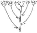 Corymb (PSF).png
