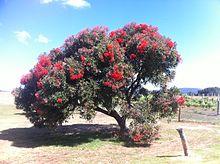 Corymbia ficifolia wikipedia corymbia ficifolia mightylinksfo
