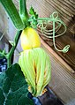 Courgette and flower (20635788894).jpg