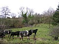 Cows at Cranny - geograph.org.uk - 311136.jpg