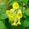 Cowslip - Primula veris - geograph.org.uk - 1274759.jpg