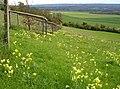 Cowslips - geograph.org.uk - 162433.jpg
