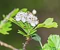 Crataegus monogyna in Aveyron (3).jpg