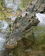 American Crocodlile. Photo taken at La Manzanilla, Jalisco, Mexico