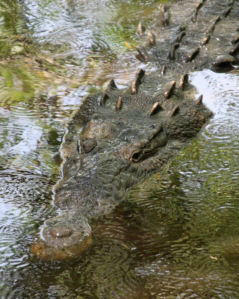 Crocodylus acutus mexico 01