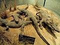 Crocodylus porosus - Kunming Natural History Museum of Zoology - DSC02544.JPG