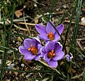 Crocus Spring Beauty.jpg