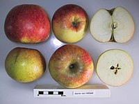 Cross section of Glorie van Holland, National Fruit Collection (acc. 1949-179).jpg
