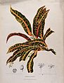 Croton (Codiaeum variegatum (L.) Blume); flowering and fruit Wellcome V0042688.jpg