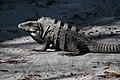 Ctenosaura similis Caye Caulker.JPG