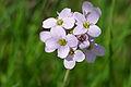 Cuckoo-flower (Cardamine pratensis) (17026152850).jpg