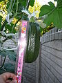 """Cucurbita pepo """"zapallo de Angola"""" semillería La Paulita - fruto día 08 (VE04) - 17,5 cm largo.JPG"""