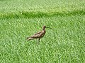 Curlew (Numenius arquata) - geograph.org.uk - 850129.jpg