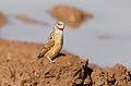 Cut-throat finch, Amadina fasciata at Mapungubwe National Park, Limpopo, South Africa (album includes copulating pair) (17840488646).jpg