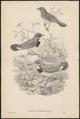 Cyanecula tschebaiewi - 1700-1880 - Print - Iconographia Zoologica - Special Collections University of Amsterdam - UBA01 IZ16200274.tif