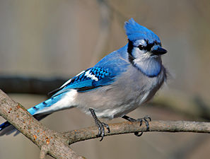 A blue and white bird, with a crest on its head.