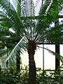 Cycas circinalis 2.jpg