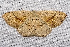 Gepunkteter Eichen-Gürtelpuppenspanner  (Cyclophora punctaria)