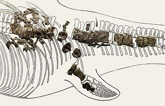Museum Gherdëina - Cymbospondylus, Ichthyosaurus from Seceda