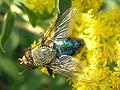 Cynomya mortuorum (male) - TopView 04.jpg