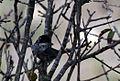 Cyprus Warbler - Flickr - GregTheBusker (1).jpg