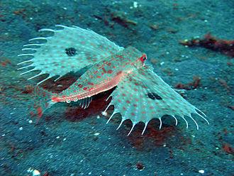Dactylopteridae - Image: Dactyloptena orientalis