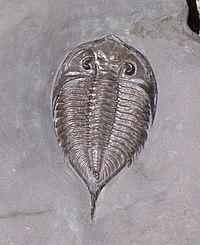 Dalmanites limulurus trilobite silurian.jpg