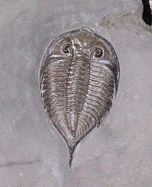 Phacopida - Dalmanites limulurus, a trilobite  of the suborder Phacopina