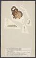 Danais - Print - Iconographia Zoologica - Special Collections University of Amsterdam - UBAINV0274 003 01 0004.tif