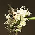 Dance Fly (15025456557).jpg