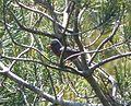 Dartford Warbler. Sylvia undata - Flickr - gailhampshire.jpg