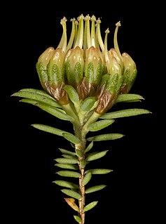 <i>Darwinia hortiorum</i> Species of flowering plant