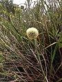Dasypogon bromelifolius Walpole 2.jpg