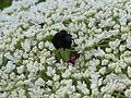 Daucus Carota-Mohrenblüte.jpg