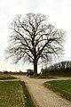 De Schonenboom ,opgaande linde - 375947 - onroerenderfgoed.jpg