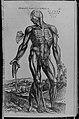 De humani corporis fabrica (Of the Structure of the Human Body) MET MM43263.jpg