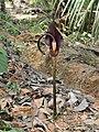 Dead Horse Arum Lily.jpg