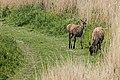 Deer - RSPB Minsmere (33599937793).jpg