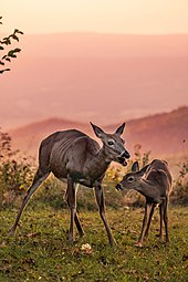 Dos ciervos de color marrón rojizo, una hembra adulta y un cervatillo joven, se colocan a lo largo de una zona verde con montañas rosadas al fondo.